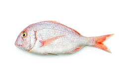 Red seabream Royalty Free Stock Image