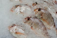 Red seabreams fish on ice. Closeup view Royalty Free Stock Photo