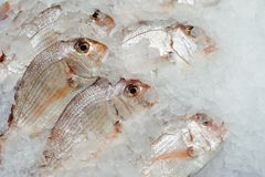 Red seabreams fish on ice tray. Closeup view Royalty Free Stock Photo