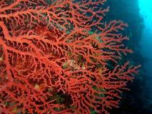 Red Seafan. Gorgonian seafan Stock Photos