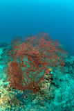 Red seafan in Sipadan Royalty Free Stock Photo