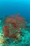 Red seafan in Sipadan. Malaysia Royalty Free Stock Photo