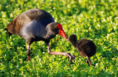A Red-Seal Coot Moorhen with her Baby Chick Stock Photos