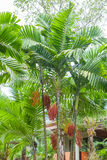 Red sealing wax palm in garden Royalty Free Stock Photo