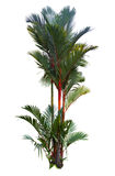 Red sealing wax palm tree. Cyrtostachys renda isolated on white royalty free stock photography