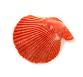 Red seashell Royalty Free Stock Images