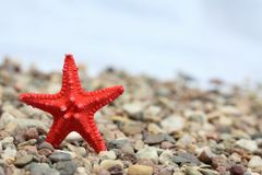Red seastar. Little red starfish on the  pebbled background Royalty Free Stock Image