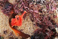 RED SEAWEED AND KELP ON THE SAND. Kelp and red seaweed lying on the beach at the seaside Stock Photography