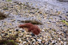 Red Seaweed on a Sandy Beach Royalty Free Stock Image