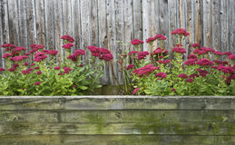 Red Sedum In Autumn. View of Red Sedum blooming in large, rustic outdoor flower box Stock Image