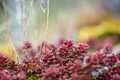 Red decorative plant. Red sedum garden decorative plant royalty free stock photo