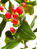 Red seeds of hypericum plant Stock Images