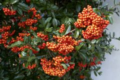 Red seeds of pyracantha coccinea. Picture of the beautiful autumn pyracantha coccinea stock images