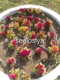 Red seeloslya flower in Indian gardan stock image