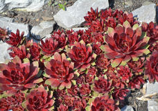 Red Sempervivum succulent plants Stock Photos