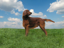 Red setter. The yoyng irish setter staying in a field Stock Photo