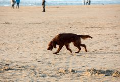 Red setter dog having fun on a beach stock images