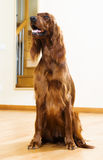 Red  Setter  at home Stock Photo