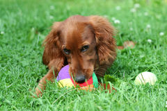 Red Setter. A Red Irish Setter Dog Royalty Free Stock Photography