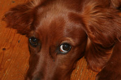 Red Setter Royalty Free Stock Photography