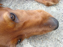 Red Setter Stock Photography