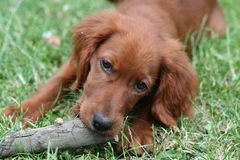 Red Setter Stock Image