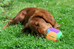 Red Setter Royalty Free Stock Image