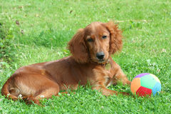 Red Setter Royalty Free Stock Photos