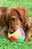 Red Setter Stock Photo