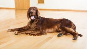 Red  Setter lying on   floor Stock Image