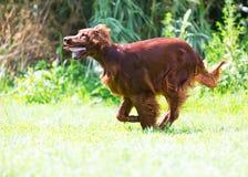 Red Setter running on grass Stock Photo