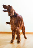 Red  Setter standing on parquet floor Stock Photos