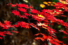 Red seven angle maple leaves Royalty Free Stock Photography