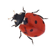 Red seven ponts ladybug Royalty Free Stock Photo