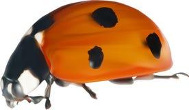Red seven ponts ladybug on white illustration Stock Images