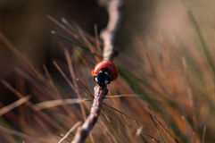 Red Seven Spotted Ladybird Perched on Brown Tree Branch in Close Up Photography During Daytime Stock Images