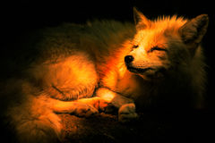 Red in shades. Red fox sleeping in shades and shadow Stock Photography