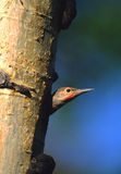 Red-shafted Flicker. A young red-shafted flicker peering out form its nest cavity in an aspen tree Royalty Free Stock Image