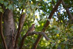 Red Shafted Flicker Stock Images