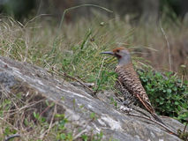 Red-Shafted Flicker Royalty Free Stock Images