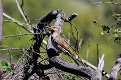 Red Shafted Flicker Woodpecker, Turtle Bay, Redding, CA, USA stock images