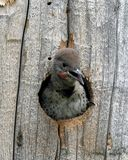 Red-shafted Northern Flicker. This is a baby Northern Flicker with a nest in an electrical pole at a ball park in Montana Stock Images