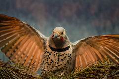 Red-shafted Northern Flicker Stock Images