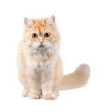 Red shaggy cat Stock Image