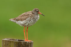 Red shank. A Red shank standing on a pole Royalty Free Stock Photo