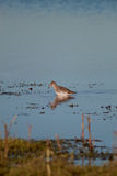 Red Shank. A red shank in it`s natural habitat royalty free stock photo