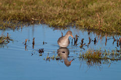 Red Shank. A Red Shank in a Marshland Habitat Royalty Free Stock Photo