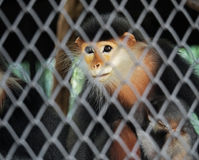 Red-Shanked Douc with Baby in The Cage Royalty Free Stock Images