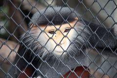 Red-shanked Douc In The Cage Royalty Free Stock Photo