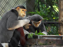 Red-Shanked Douc with Family in The Cage Stock Images